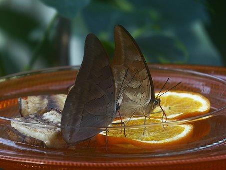 Butterflies, Feeding, Sugar Water, Orange Slices