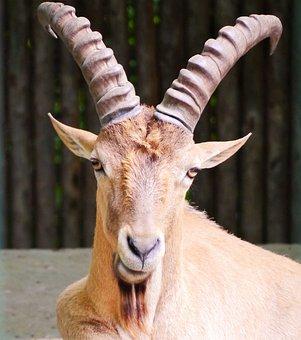 Capricorn, Goat, Horned, Alpine, Climb, Alpine Ibex
