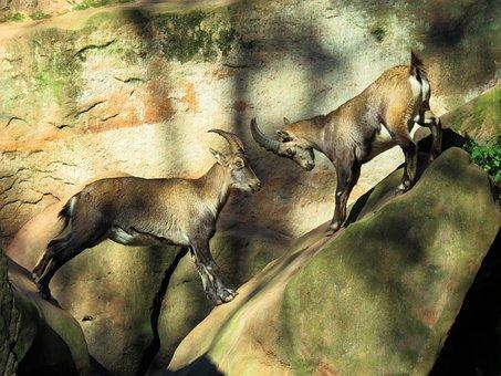 Animal, Capricorn, Mountains, Horns, Fight, Alpine