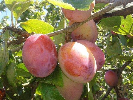 Juicy Plums, Fruit, Juicy, Food, Plum, Healthy, Fresh