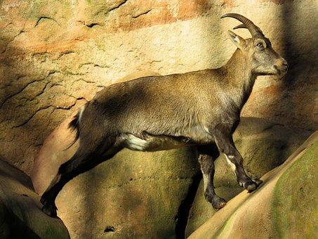 Animal, Capricorn, Mountains, Horns, Alpine
