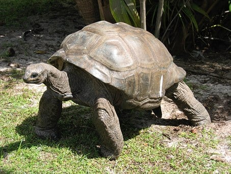 Giant, Tortoise, Old, Shell, Endangered, Reptile