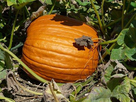 Pumpkin, Cucurbita Maxima, Choose, Cucurbitaceae, Fruit