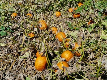 Pumpkin, Cucurbita Maxima, Pumpkin Breeding