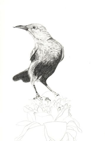 Pencil, Graphite, Animal, Bird, Drawing, Illustration