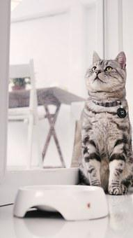 Cat Mia, Introduction To American Shorthair Cat
