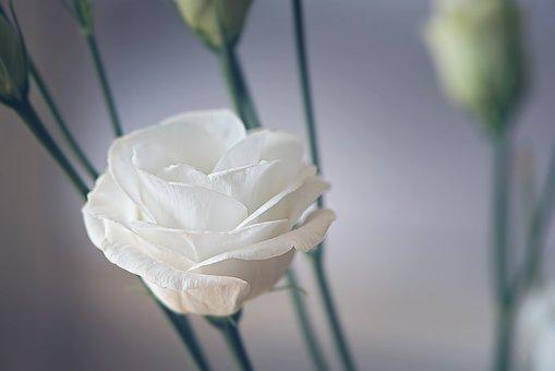 Lisianthus, Flower, Blossom, Bloom, White, Petals