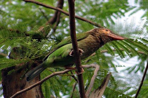 Brown-headed Barbet, Large Green Barbet