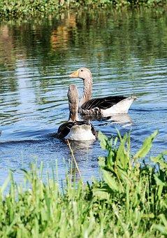 Greylag Goose, Anser Anser, Wild, Bird, Feathers