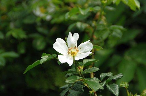 Rose Hips, White Flower, Petals, Rosacea, White Petals