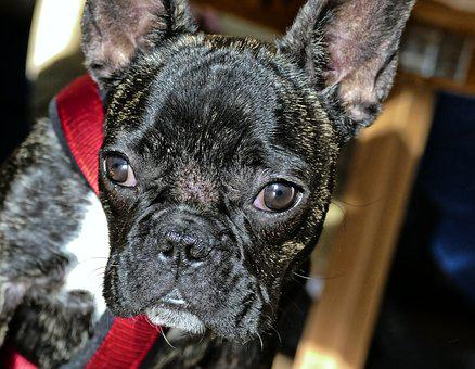 French Bulldog, Bulldog, Dog, Cute, Animal, Pet, Snout