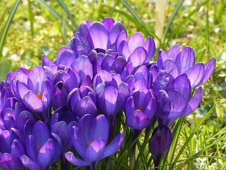Crocus, Yellow, Purple, Violet, Blue, Bloom, Blossom