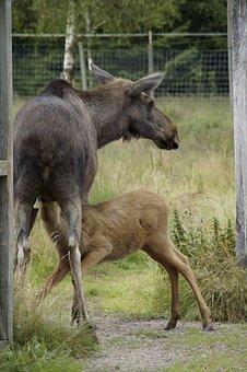 Elk Park, Moose, Elche, Young Animal, Suckle, Mammal