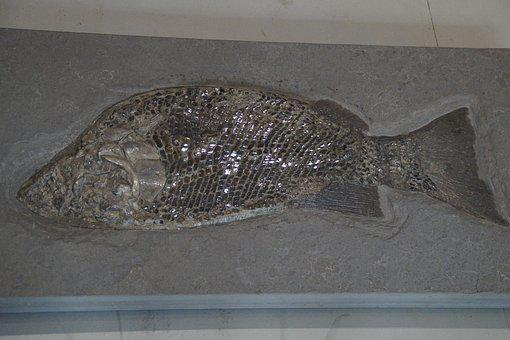 Fossil, Fossils, Fish, Petrified, Scale, Fish Scales