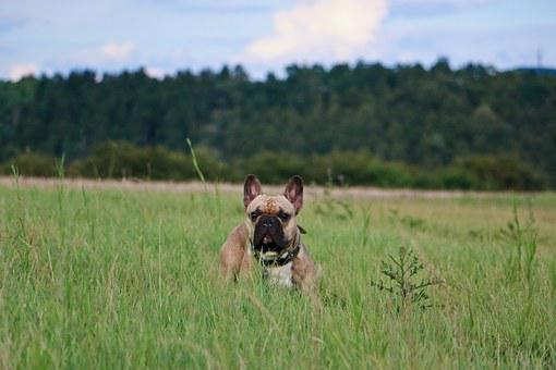 French Bulldog, Frenchie, Bulldogs, Bully, Dog, Buddy