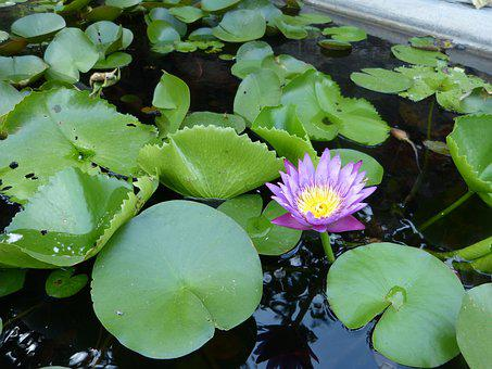 Lotus, Viet Nam, Flower, Pond, Water Lilies