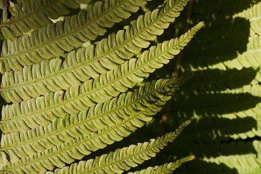 Fern, Fiddlehead, Green, Plant, Vessel Sporenpflanze