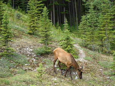 Elk, Velvet, Horns, Jasper, Alberta, Canada, Wildlife