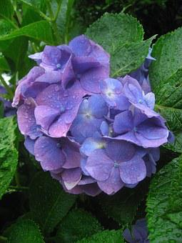 Hydrangea, Ota Kisan, Flowers, Purple, Blue