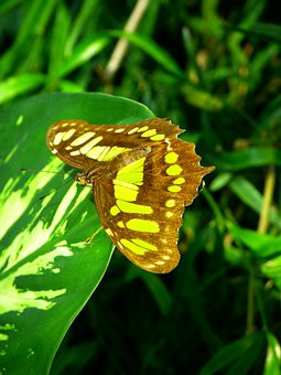 Butterfly, Fly, Insect, Animal, Malachite Butterfly