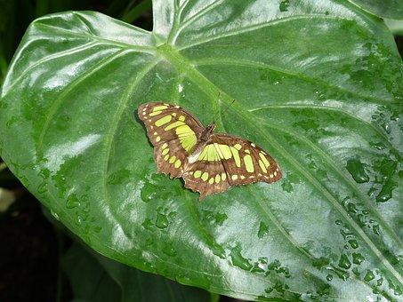 Malachite Butterfly, Butterfly, Leaf, Green
