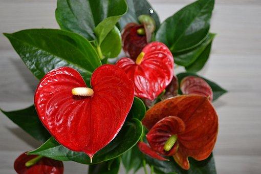 Flamingo Flower, Plant, Houseplant, Red, Heart