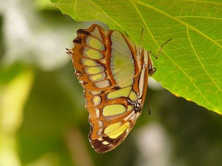 Malachite Butterfly, Butterfly, Siproeta Stelenes, Fly