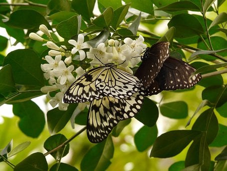 White Baumnymphe, Small Baumnymphe, Butterfly