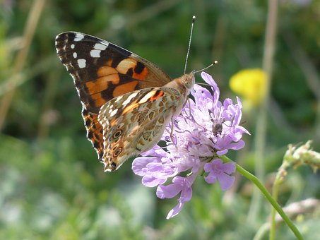 Painted Lady, Butterfly, Vanessa Cardui, Cynthia Cardui