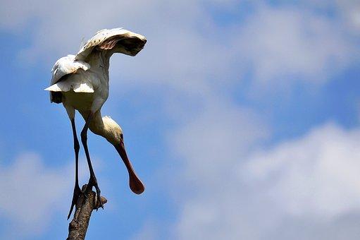 Spoonbills, Bill, Bird, Nairobi National Park, Animal