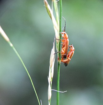 Beetle, Longhorn, Insect, Nature, Fauna, Wildlife