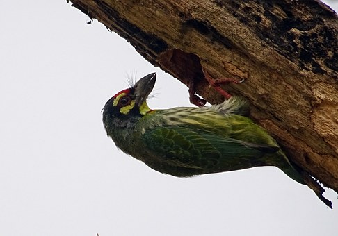 Coppersmith Barbet, Crimson-breasted Barbet, Bird