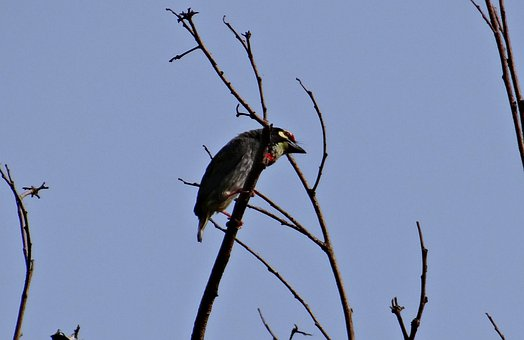 Coppersmith Barbet, Bird, Crimson-breasted Barbet