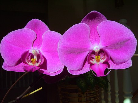 Orchid, Phalaenopsis, Love, Friendship, Fall In Love