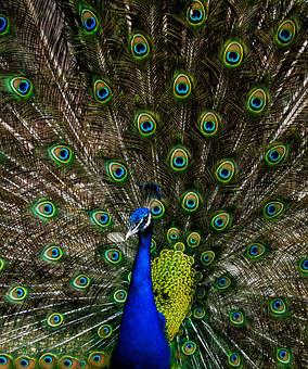 Peacock, Green, Alone, Nature, Blue, Bird, Animal