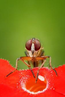 Robberfly, Fly, Insect, Macro, Animal, Wildlife