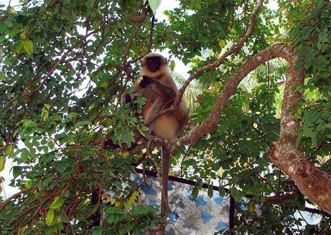 Monkey, Hanuman, Langur, Gray, Wildlife, Indian
