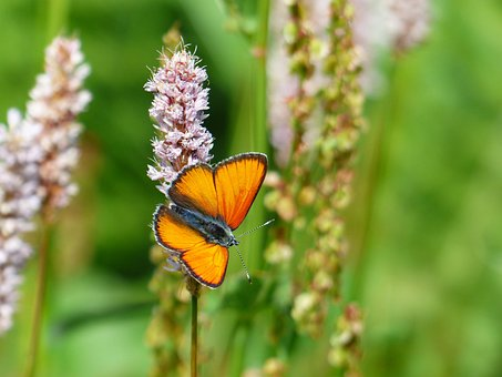 Large Copper, Butterfly, Red, Orange, Lycaena Dispar