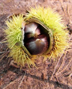 Maroni, Fall, Autumn, Prickly, Sweet Chestnuts