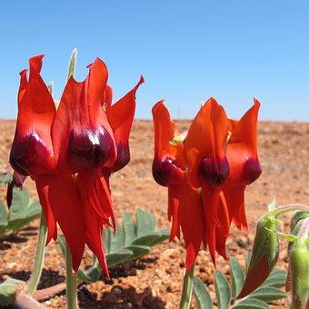 Pilbara Flowers, Wildflowers, Stuart Dessert Pea