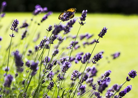 Lavender, Flower, Plant, Blossom, Bloom, Garden, Nature
