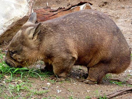 Wombat, Australia, Wildlife, Herbivore, Mammal