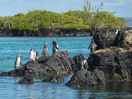 Galápagos Penguin, Spheniscus Mendiculus, Penguin