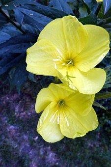 Pink Evening Primrose, Primrose, Blossom, Bloom, Lemon