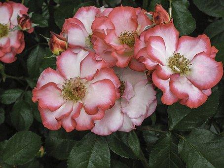 Rose, Pink, White, Petal, Floral, Blossom, Garden