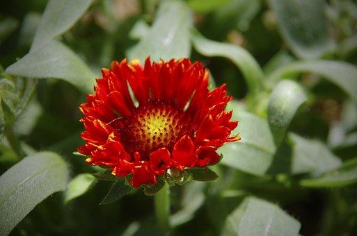 Blaze Of Glory, Flower, Orange, Bloom, Summer, Garden