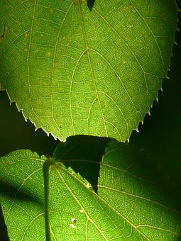 Linde, Tree, Close, Macro, Leaves, Green, Back Light
