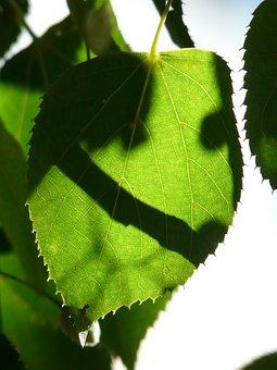 Linde, Tree, Leaves, Green, Shadow, Hispanic, Sunlight
