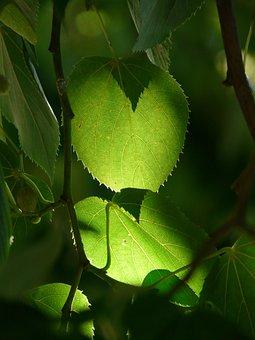 Linde, Tree, Leaves, Green, Back Light, Winter Linde
