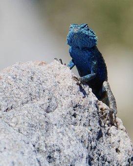 Lizard, South Africa, Bettys Bay